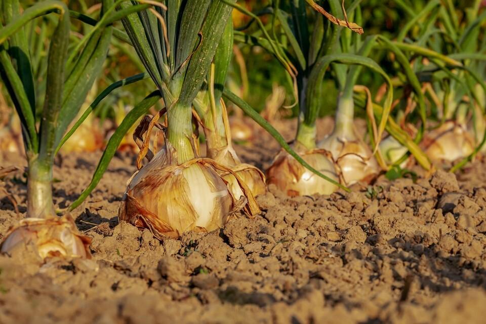 Regionaler Zwiebelanbau auf dem Acker